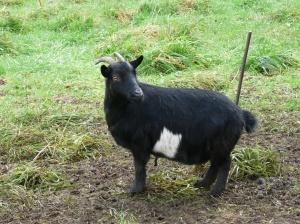 chèvre en pyjama