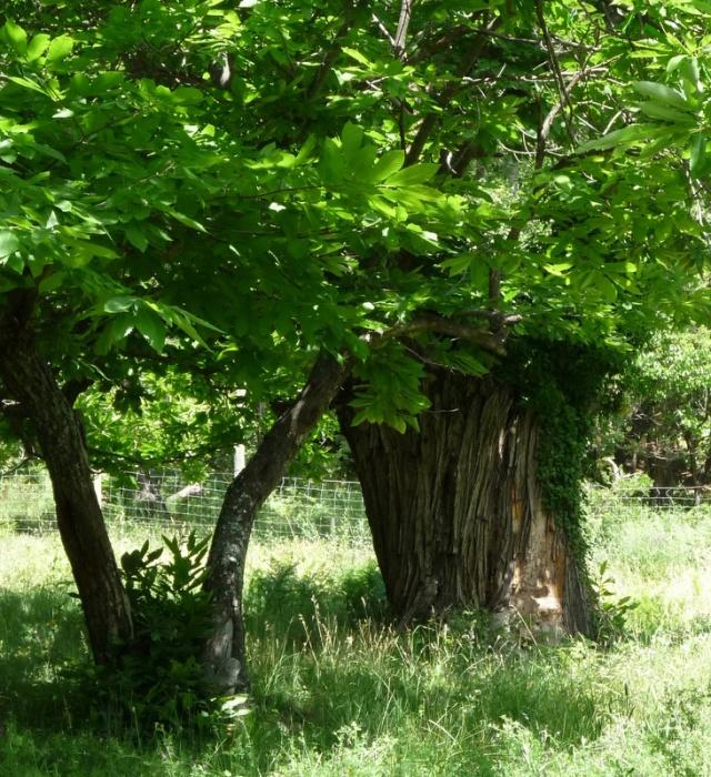 chêne au moins centenaire au tronc très large