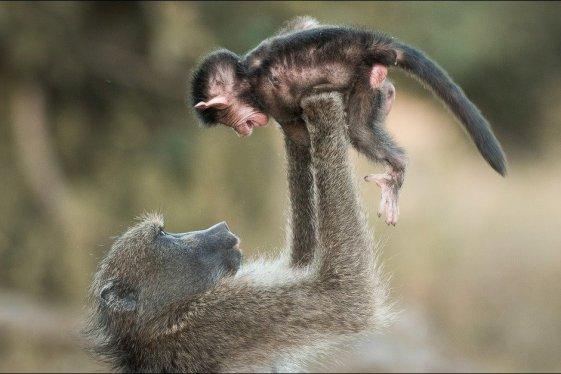 babouin