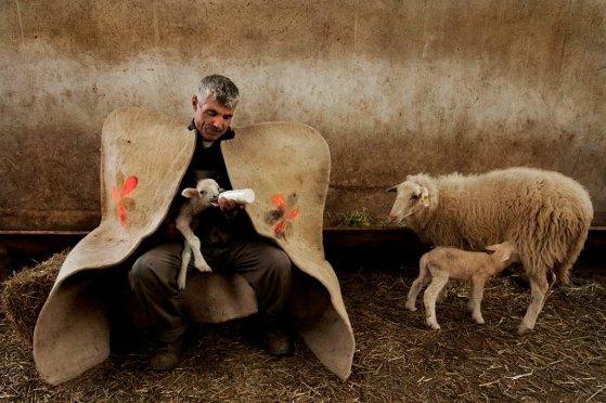 brebis agneaux