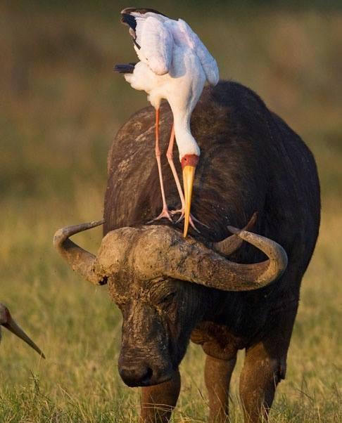 buffle-heron
