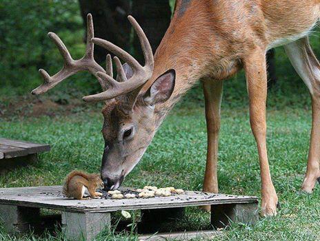 cerf-écureuil