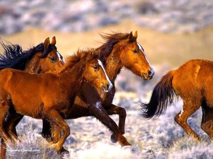 chevaux courant