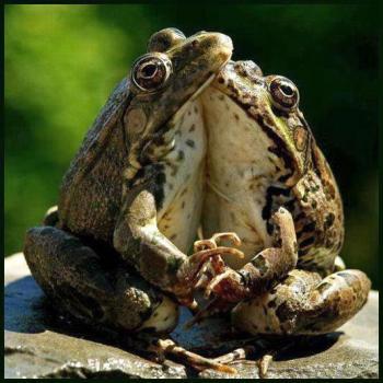 grenouilles amoureuses