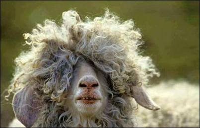 mouton chevelu