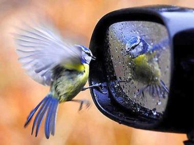 oiseau se mirant