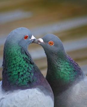 pigeon_kiss